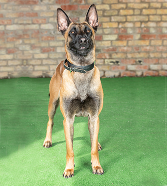 Benny Belgian Malinois available for Sale - 44 (0)785 8120 456