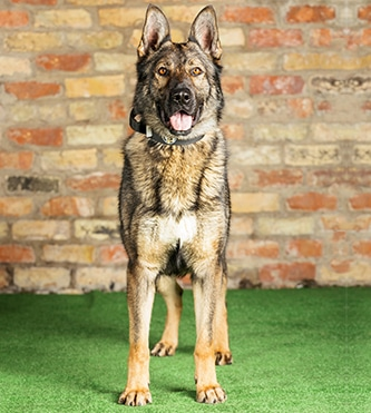 protection dogs for sale